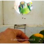 Allevamento Naturale Amazona Ochrocephala