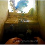 Allevamento Naturale pappagallo Cenerinio