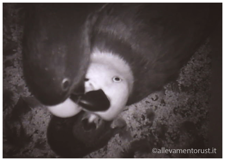 Allevamento Naturale Pappagallo Ecletto e pullo nel nido