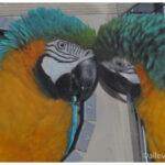 Coppia pappagalli Ara Ararauna