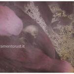 Pullo di pappagallo Ecletto con la Mamma nel nido